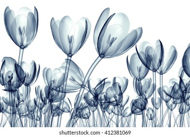 x-ray image of a flower  isolated on white, the crocus 3d illustration