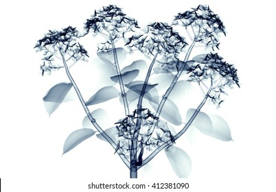 x-ray image of a flower  isolated on white, the hortentia 3d illustration