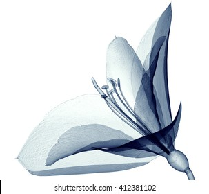 x-ray image of a flower  isolated on white, the Amaryllis 3d illustration