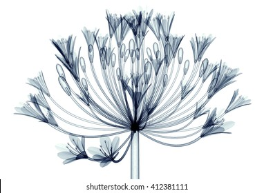 x-ray image of a flower  isolated on white, the Bell Agapanthus 3d illustration