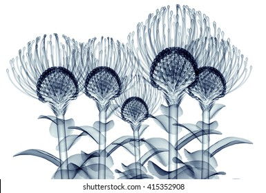 x-ray image of a flower  isolated on white , the Nodding Pincushion 3d illustration