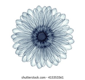 x-ray image of a flower  isolated on white , the gebera 3d illustration