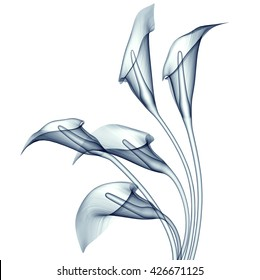 x-ray image of a flower  isolated on white , the calla lilly 3d illustration