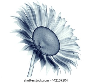 x-ray image of a flower  isolated on white , the sunflower 3d illustration