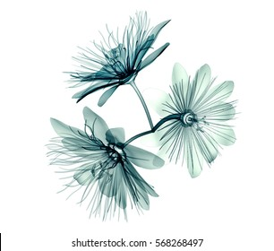 x-ray image of a flower  isolated on white , the passion flower 3d illustration