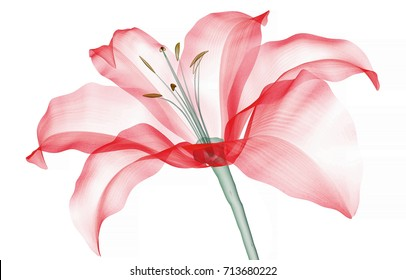 x-ray image of a flower  isolated on white, the Lily 3d illustration