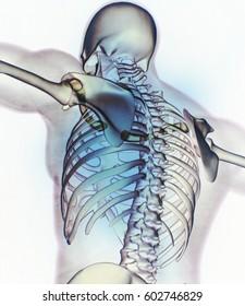 Xray image, human anatomy torso, skeletal structure, bones. 3D illustration