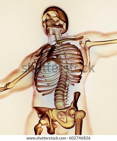 Xray Image Human Anatomy Torso Skeletal Stock Illustration 602746826 ...