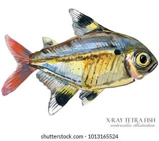 x-ray tetra fish watercolor illustration