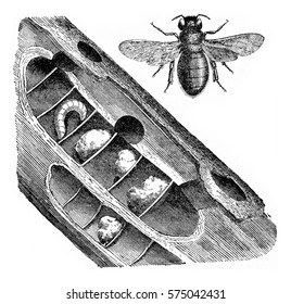 Xylocopa violocopa, vintage engraved illustration.