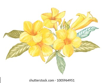 Yellow Alamanda flower isolated on white background. Watercolor Singapore flower realistic colorful with leaves. Exotic tropic floral object for your poster design.