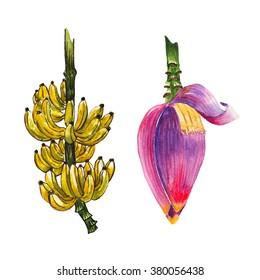 yellow banana fruit and purple banana blossom part of banana tree isolated on white background