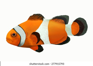 Yellow clownfish on white background
