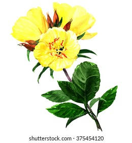 Yellow evening primroses isolated on white