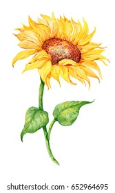 Yellow flower of a sunflower on isolated background. illustration of watercolor. watercolor hand painting