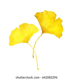 Yellow leaves - ginkgo. Autumn botanical illustration, watercolor