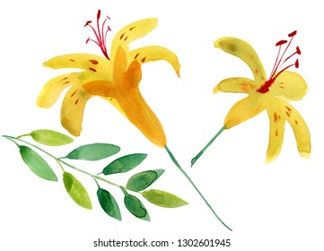 Yellow lily flower with buds isolated on a white background.