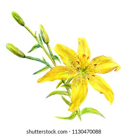 Yellow lily flower garden summer, isolated on a white background, watercolor handmade. Botanical illustrations for printed
