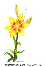 Yellow lily flower. Watercolor painting. Botanical realistic art. Hand drawn floral illustration isolated on white background. Beautiful day-lily.