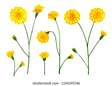 Yellow meadow flowers. Watercolor illustration. Yellow meadow, wild flowers. Elements for design, illustration in a book, textbook. Illustration for printing.