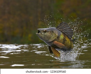Yellow perch fish jumping out of lake or river with splashes 3d render