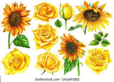 yellow roses and sunflowers painted with watercolor on a white background, botanical illustration