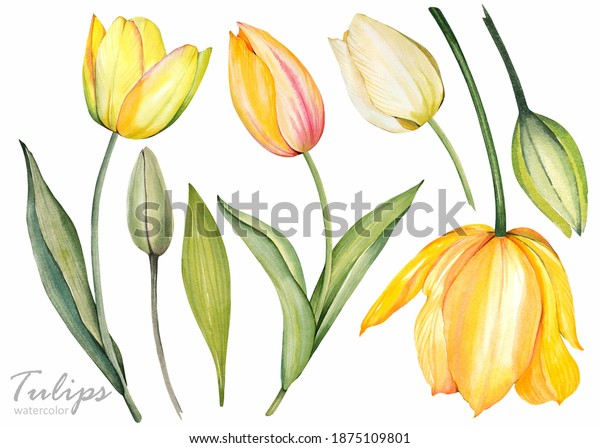 Yellow tulips on white background. Spring floral set. Watercolor botanical illustration.