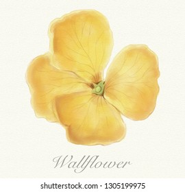 Yellow wallflower isolated on a watercolor paper background with its name