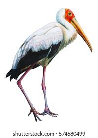Yellow-billed Stork African drawing (Mycteria ibis)