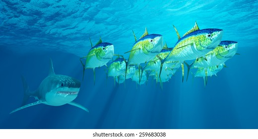 Yellowfin Tuna School - A school of Yellowfin tuna is followed by a Great White shark waiting for his opportunity to strike.