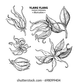 Ylang ylang drawing set. Isolated vintage illustration of medical flower. Organic essential oil engraved style sketch. Beauty and spa, cosmetic ingredient. Great for label, poster, packaging design.