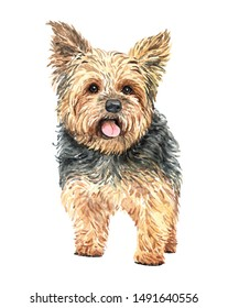 Yorkshire terrier of a dog. Watercolor hand drawn illustration. Watercolor Yorkshire terrier layer path, clipping path isolated on white background.