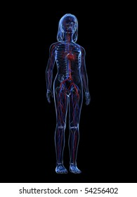young girl anatomy - vascular system