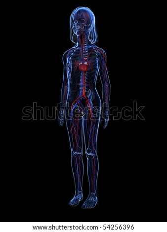 Royalty Free Stock Illustration of Young Girl Anatomy Vascular ...