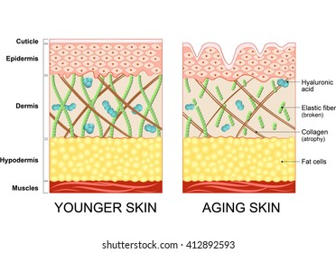 younger skin and aging skin. elastin and collagen.