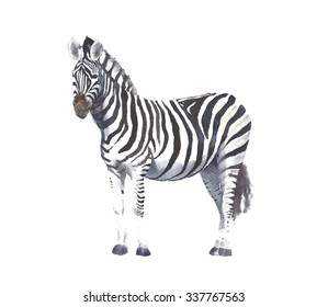 Zebra animal watercolor painting illustration hand made isolated on white background greeting card