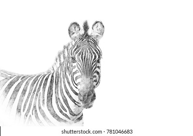 Zebra. Black and white sketch with pencil