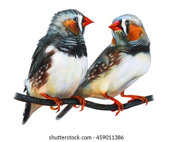 Zebra Finch drawing (Taeniopygia guttata)