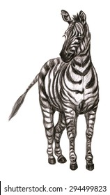 Zebra on white background. Hand drawn color pencil illustration of african animal