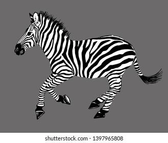 Zebra running graphic illustration isolation. Striped horse African.