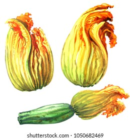 Zucchini, courgette flower, yellow pumpkin flowers, isolated, hand drawn watercolor illustration on white