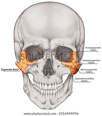 Zygomatic Bone Cranium Bones Head Skull Stock Illustration