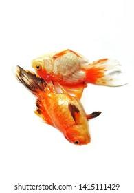 Goldfishdiewhentheydonothavebreathingairbecausethewaterinthepondisdirtyandrotten