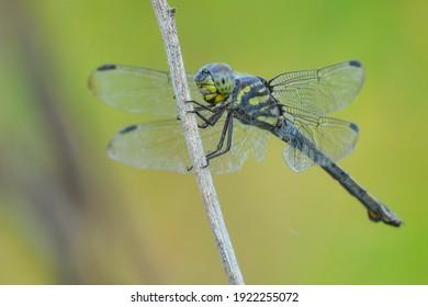 dragonflyis aninsectbelonging to the orderOdonata,infraorderAnisoptera