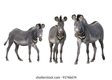 Grévy-zebras