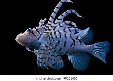 lionfish?