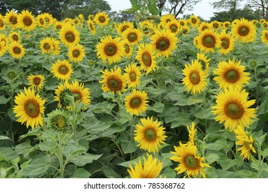 01-01-18  blooming sunflowers on a background ,at Korat Thailand