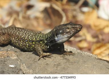 01-09-2016 . lizard in Puerto de la Cruz  Tenerife.  .The lizard blight (Gallotia galloti), also called Western Canaries Lizard is endemic to the islands of Tenerife,