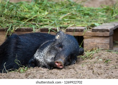 01.09.2018. RIGA, LATVIA. Collared peccary (Pecari tajacu) lying down on the ground at Riga Zoo.