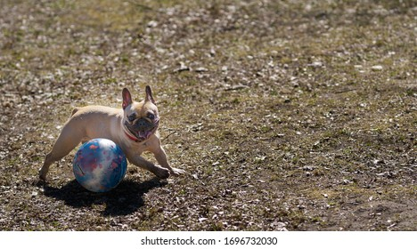 04-04-2020 Riga, Latvia French bulldog playing with his ball in the park.